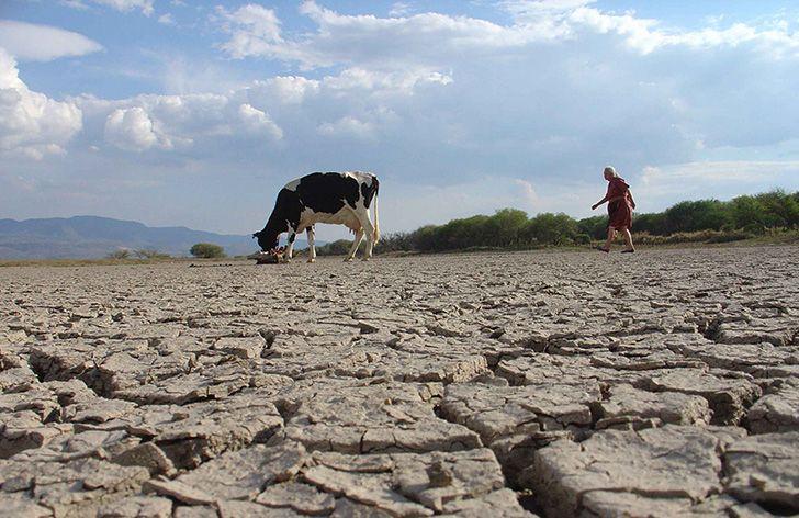 Sequía vaca
